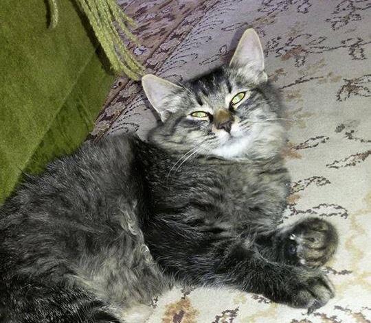 Obrovské chlpaté mačička